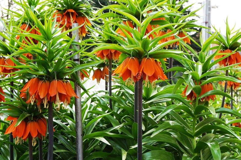 Usine d'imperialis de Fritillaria avec des fleurs images stock