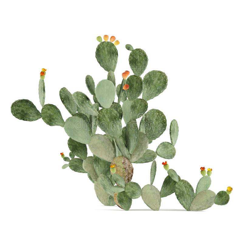 Usine d'isolement. Opuntia ficus-indica illustration stock