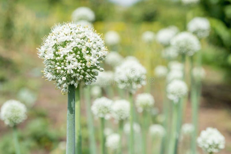 Usine d'oignon de floraison dans le jardin Plan rapproché des fleurs d'oignons blancs images stock