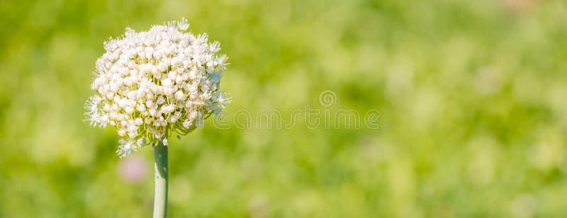 Usine d'oignon de floraison dans le jardin Le plan rapproché des oignons blancs fleurit sur le champ d'été photographie stock