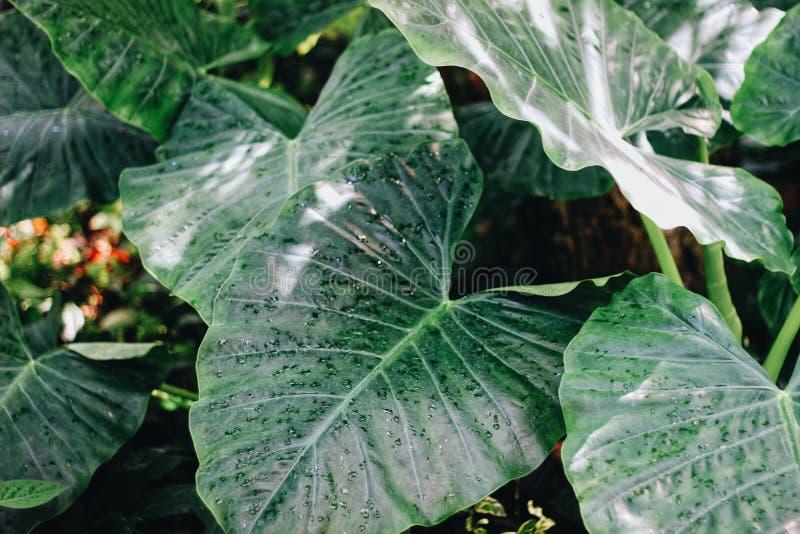 Usine d'oreille d'?l?phant s'?levant dans une grande feuille de vert tropical de jardin photographie stock