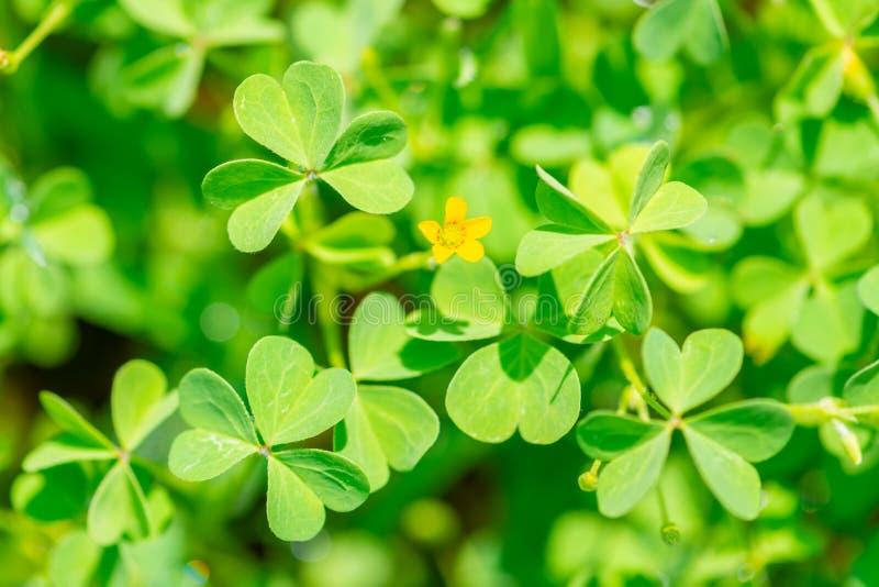 usine d'oxalide petite oseille de feuilles dans le jour ensoleillé comme le fond, concept de St Patricks photos stock