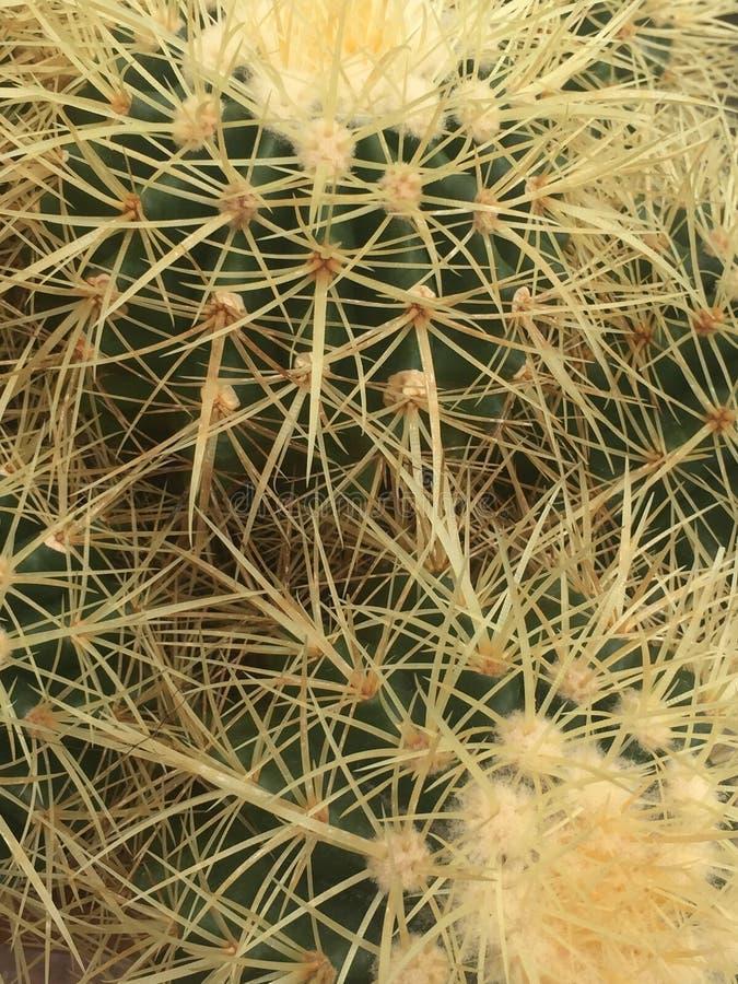 Usine de cactus photo libre de droits