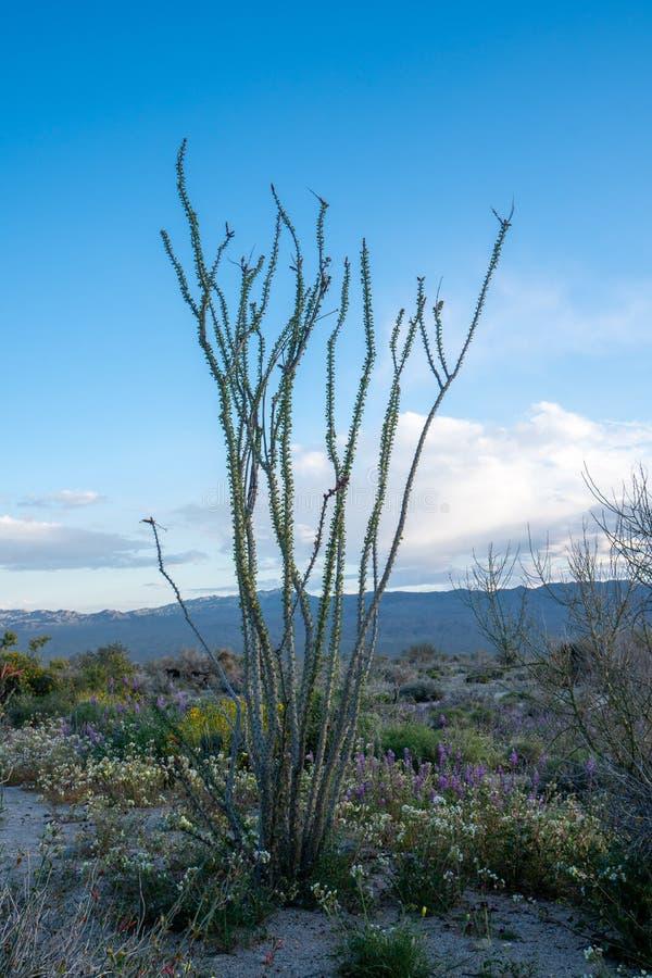 Usine de cactus d'Ocotillo en Joshua Tree National Park dans le désert de Mojave de la Californie au coucher du soleil Wildflowe photographie stock