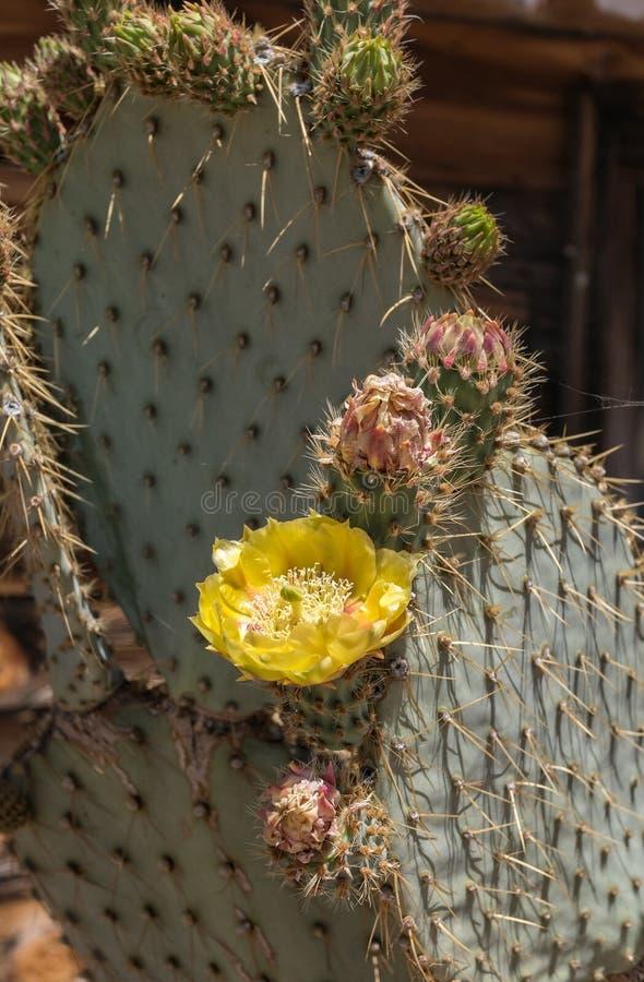Usine de cactus en fleur photos stock