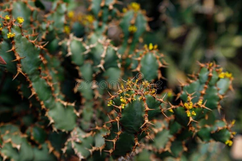 Usine de cactus, ingens d'euphorbe, usine de candélabre d'euphorbe photo libre de droits