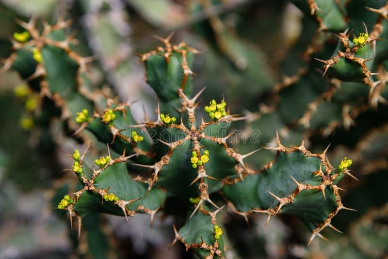 Usine de cactus, ingens d'euphorbe, usine de candélabre d'euphorbe photos stock