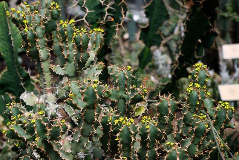 Usine de cactus, ingens d'euphorbe, usine de candélabre d'euphorbe image libre de droits