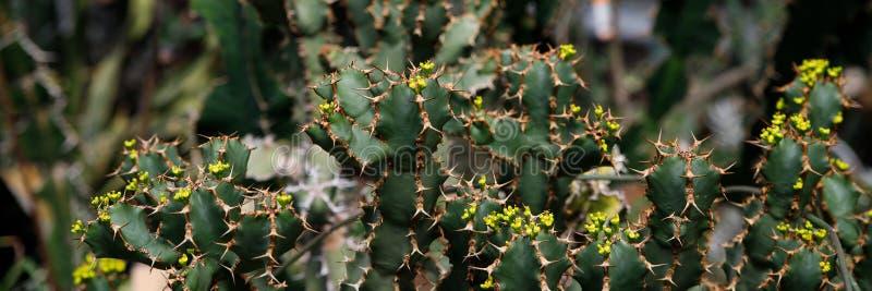 Usine de cactus, ingens d'euphorbe, usine de candélabre d'euphorbe image stock