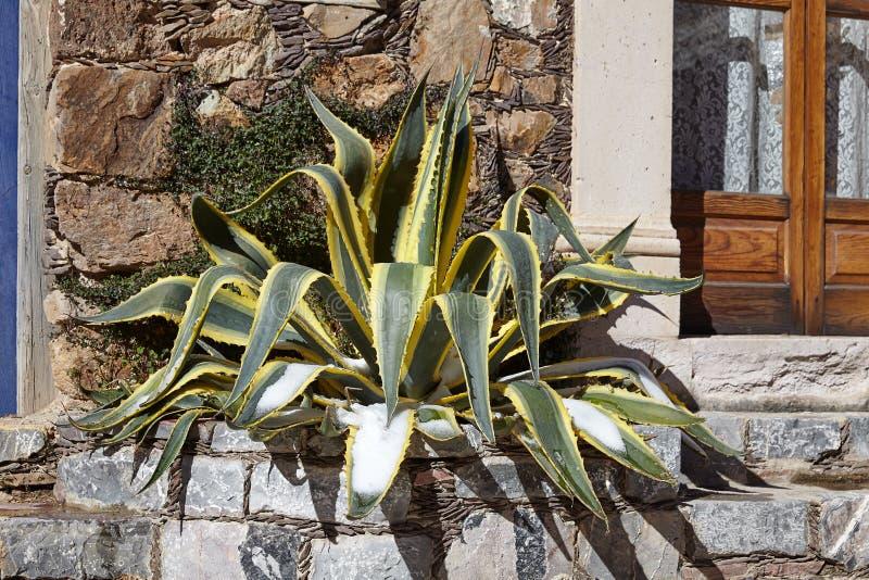 Usine de cactus sur un seuil en Real de Catorce, Mexique image stock