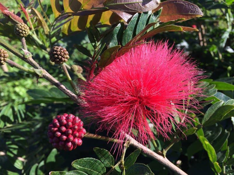Usine de Calliandra Haematocephala fleurissant dans Kilauea sur l'île de Kauai en Hawaï image stock