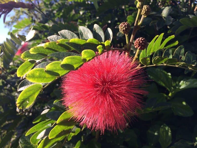 Usine de Calliandra Haematocephala fleurissant dans Kilauea sur l'île de Kauai en Hawaï photos libres de droits