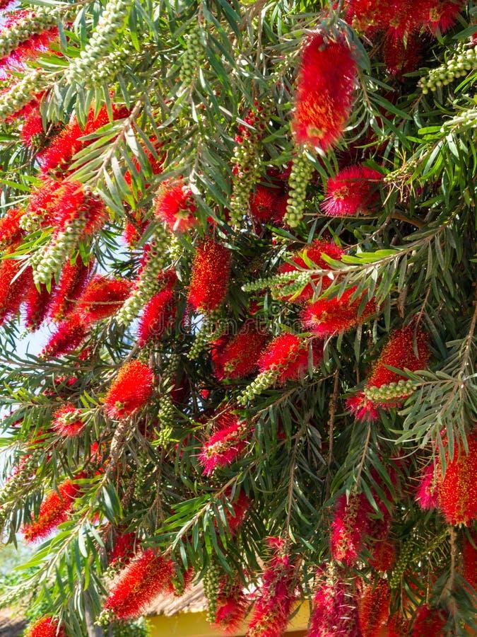 Usine de Callistemon avec les fleurs de bottlebrush et les bourgeon floraux rouges contre le ciel bleu intense image stock