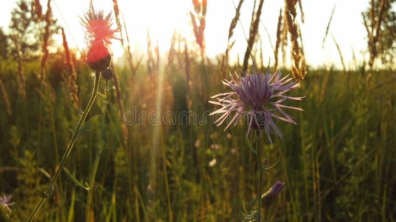 Usine de Centaurea fleurissant avec les fleurs pourpres dans la lumière lumineuse de lever de soleil images stock