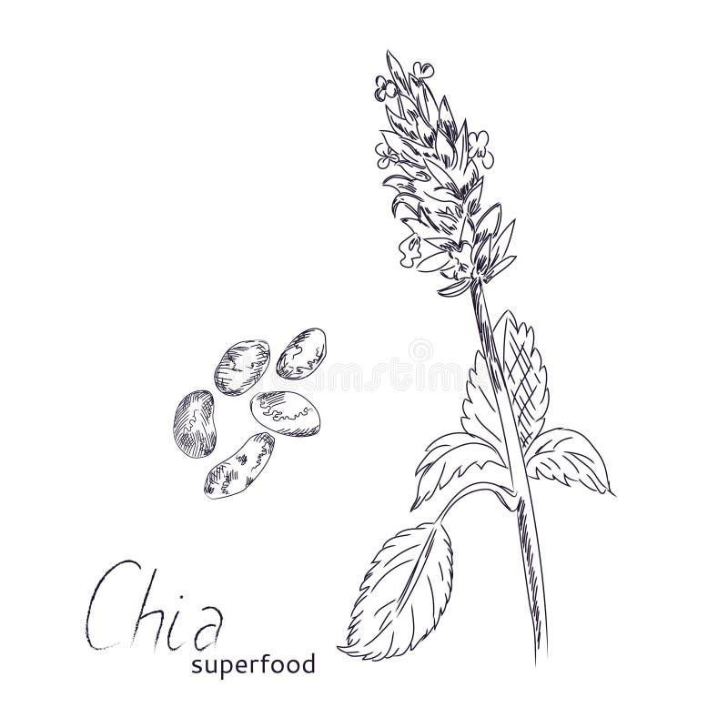 Usine de Chia et croquis tiré par la main de graines illustration de vecteur