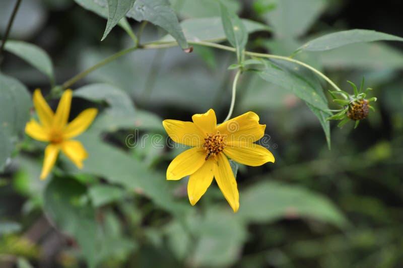 Usine de Coreopsis avec des fleurs de floraison jaunes et une alimentation abeillère photo stock