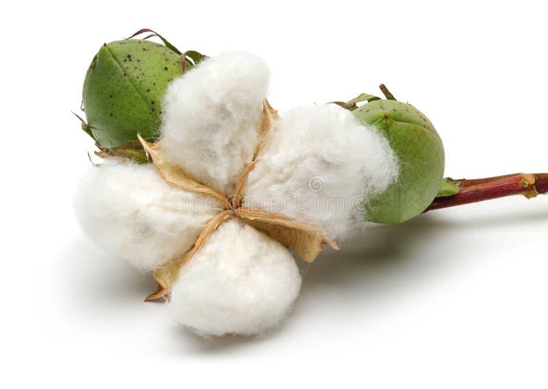 Usine de coton et capsule verte de coton images stock