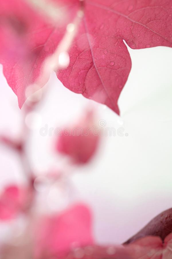 Usine de coton Laisse le fond Lames avec des gouttes de l'eau effet rouge Colore le concept photos libres de droits