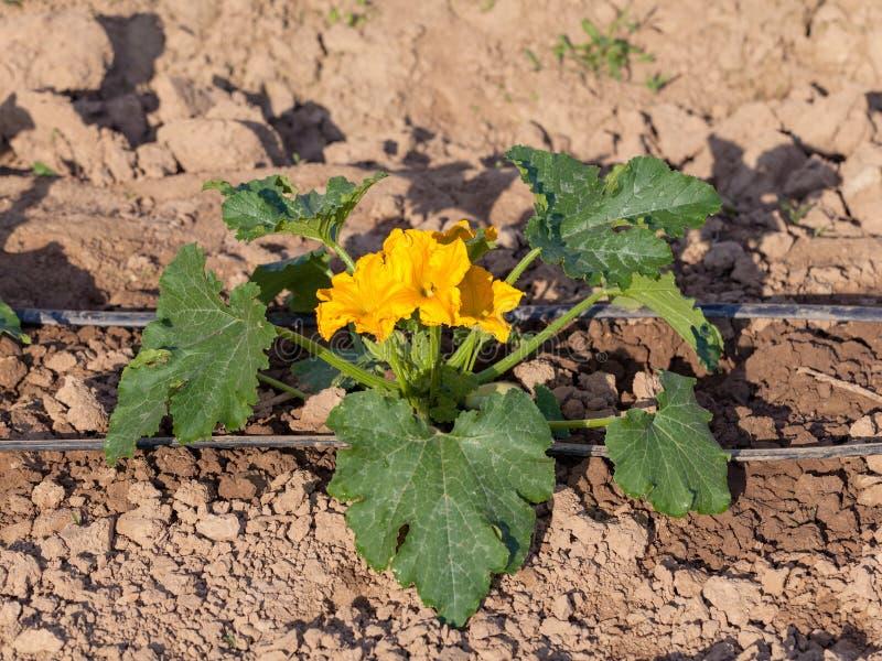 Usine de courgette dans la fleur sur le sol cultivé image stock