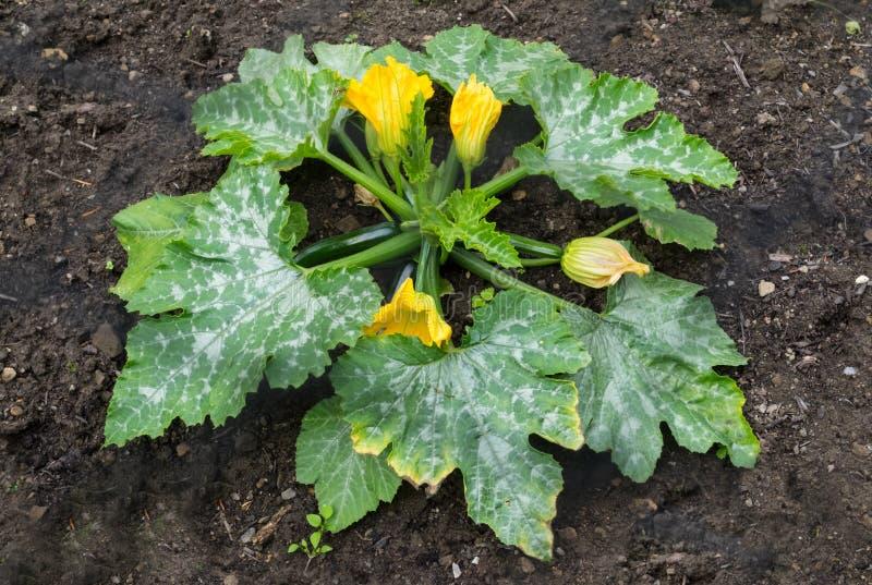 Usine de courgette s'élevant avec les fleurs jaunes et les légumes verts photo libre de droits