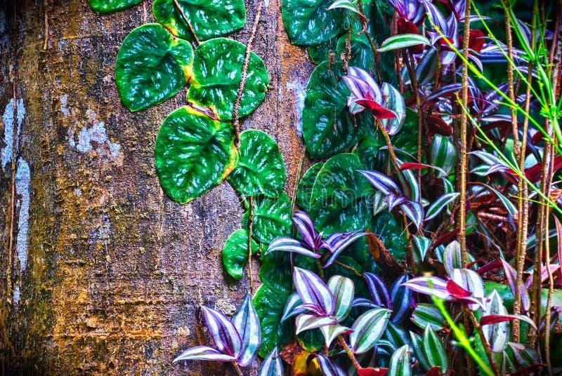 Usine de Cucaracha avec des vignes sur le tronc d'arbre de forêt tropicale de Costa Rican photographie stock libre de droits