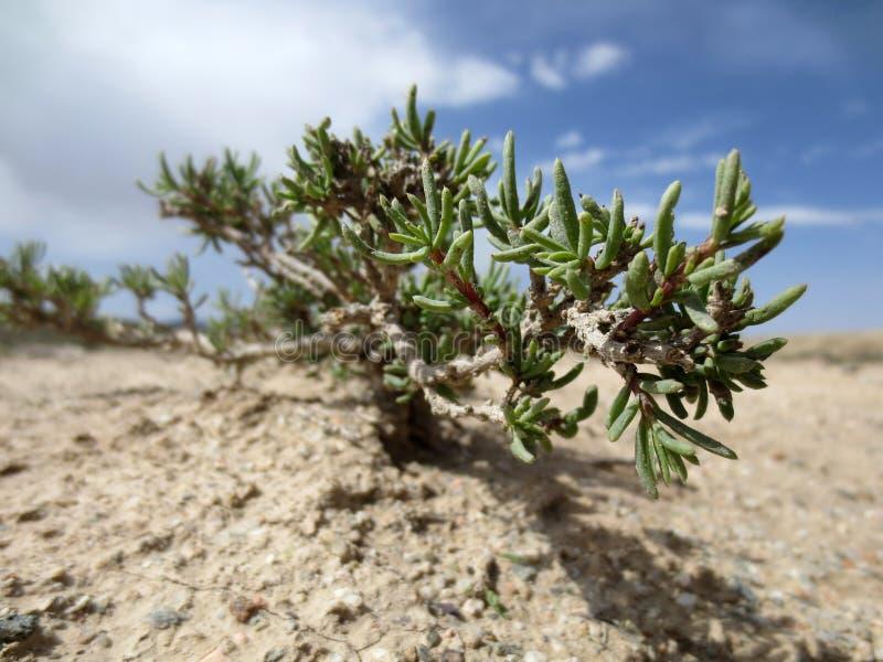 Usine de désert, désert de Gobi photos libres de droits