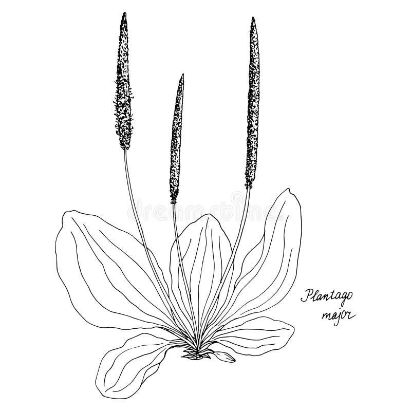 Usine de dessin d'encre de plantain illustration stock