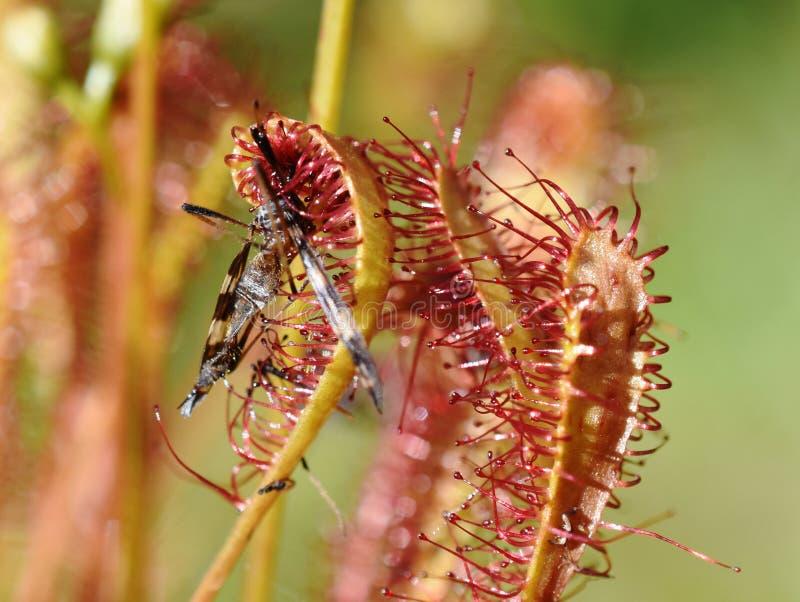 Usine de droséra d'anglica de Drosera grande avec l'insecte image stock