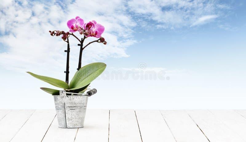 Usine de fleur d'orchidée dans le seau en métal de pot d'isolement sur le fond blanc en bois de table et de ciel, le fleuriste de image libre de droits