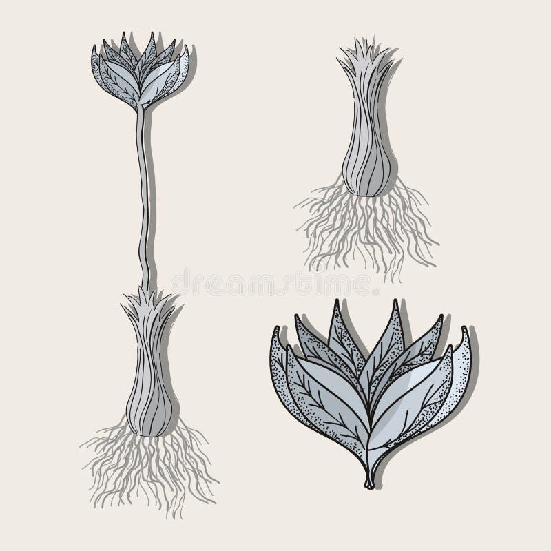 Usine de fleur traitant la botanique de fines herbes illustration stock