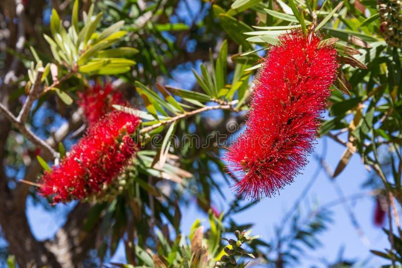 Usine de floraison de citrinus de callistemon, fleurs rouges de bottlebrush photos stock