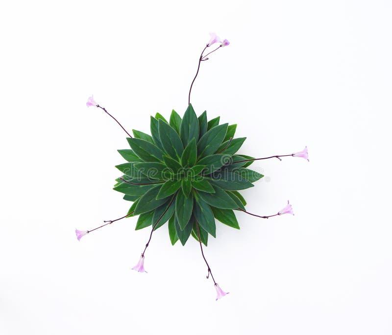 Usine de floraison de Violet Family d'Africain photo libre de droits