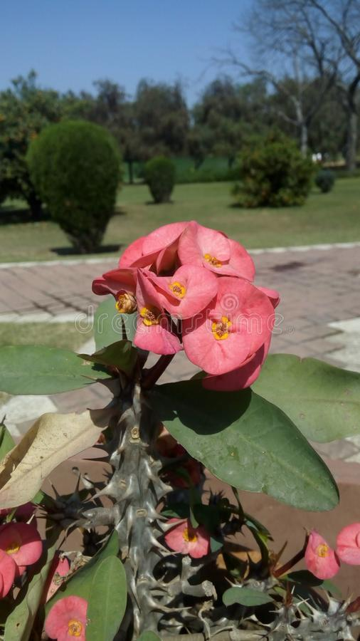 Usine de floraison de milii d'euphorbe, année complète fleurissant, couronne des épines photos libres de droits