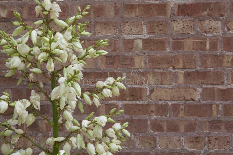 Usine de floraison de yucca contre le mur de briques rugueux photographie stock libre de droits