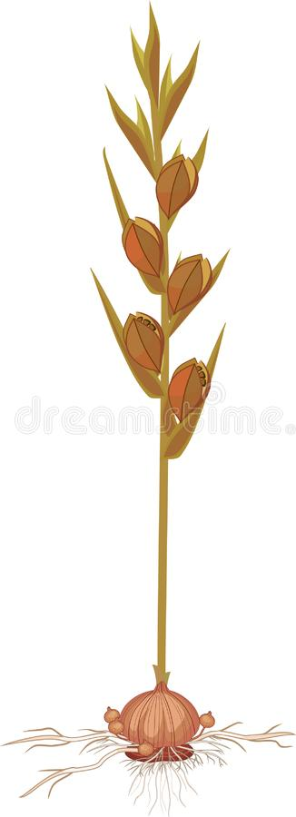Usine de glaïeul avec des graines et ampoule à la fin de la période de végétation illustration libre de droits