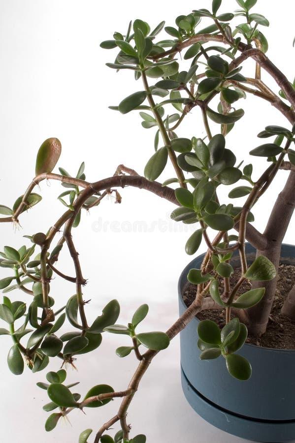 Usine De Jade Dans Le Bac Image libre de droits