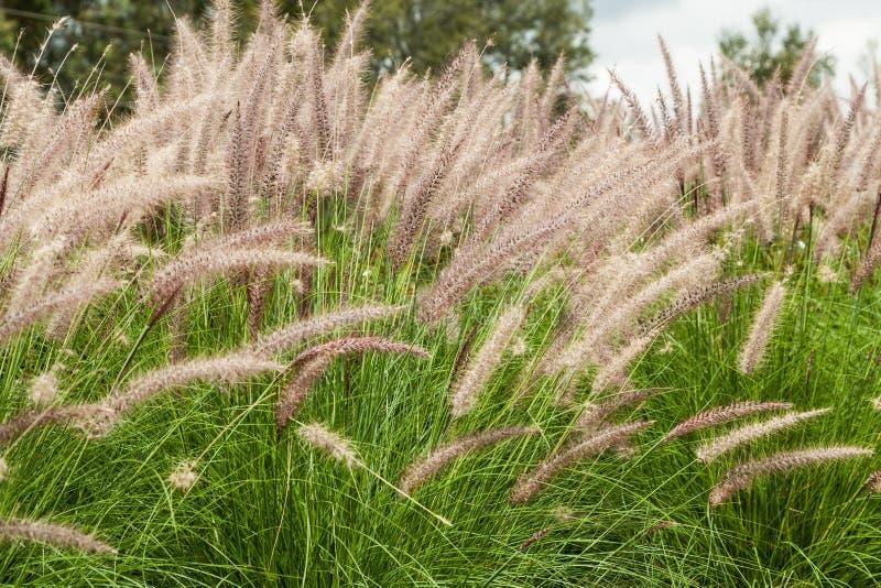 Usine de jardin ornementale de transitoires photos stock