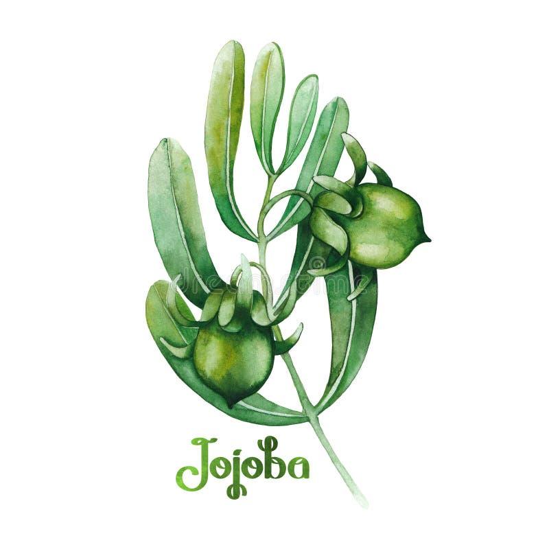 Usine de jojoba d'aquarelle illustration stock