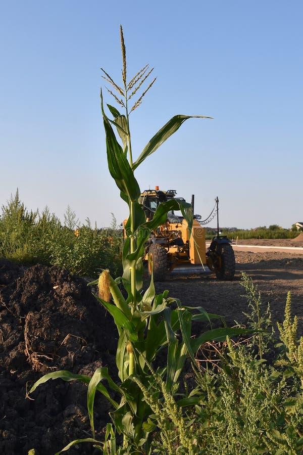 Usine de maïs solitaire de survie dans une maison de construction de routes images libres de droits