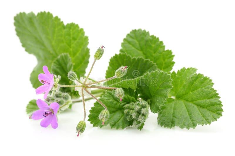 Usine de mauve avec des fleurs et des feuilles photographie stock