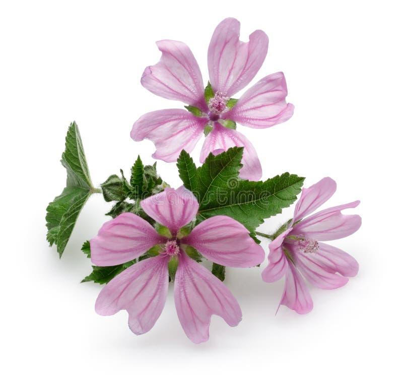 Usine de mauve avec des fleurs et des feuilles photos stock