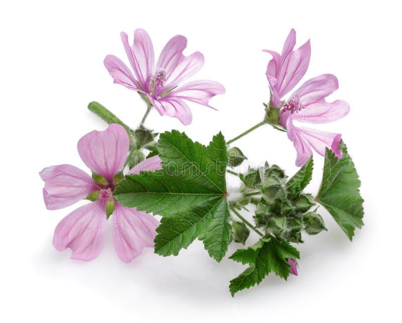 Usine de mauve avec des fleurs et des feuilles d'isolement image libre de droits