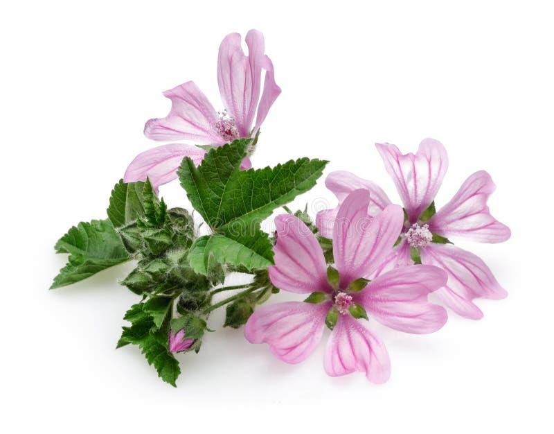 Usine de mauve avec des fleurs et des feuilles d'isolement image stock