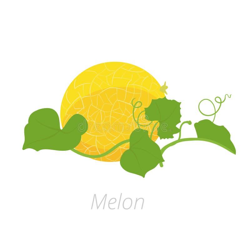 Usine de melon Illustration de vecteur Melo de Cucumis Cantaloup de melon Sur le fond blanc Cucurbitac?es de famille illustration stock