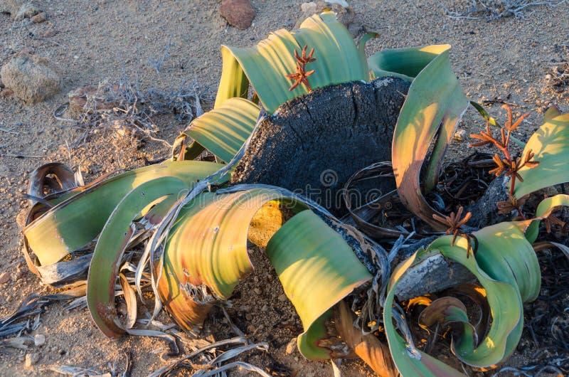 Usine de Mirabilis de Welwitschia s'élevant dans le désert de Namib aride chaud de l'Angola et de la Namibie photographie stock