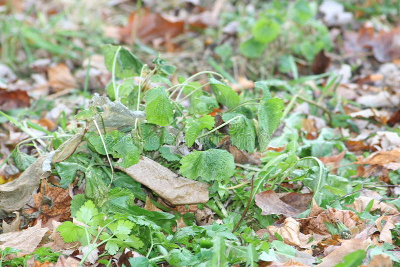Usine de persil dans l'automne images stock
