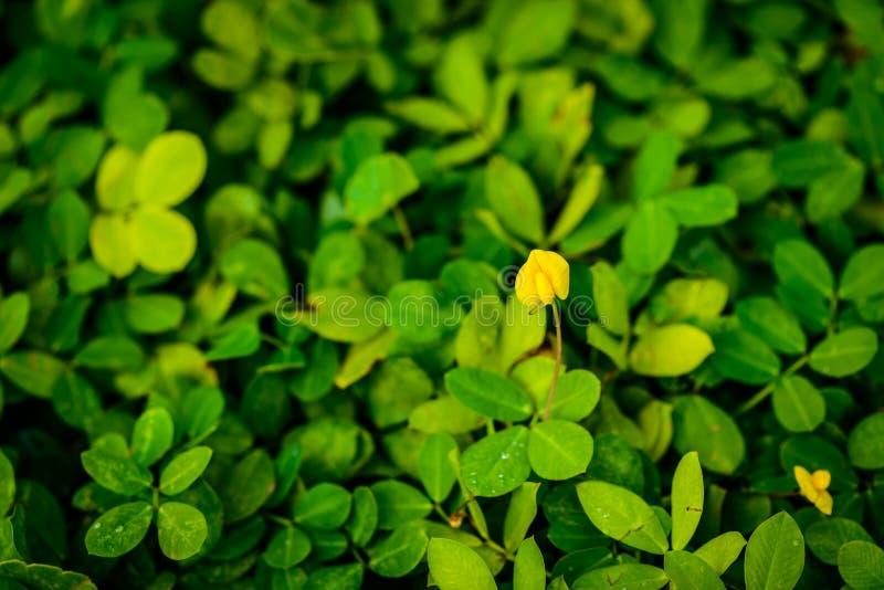 Usine de Pinto Peanut, petite fleur jaune images libres de droits