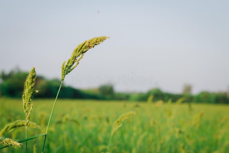 Usine de riz photographie stock libre de droits