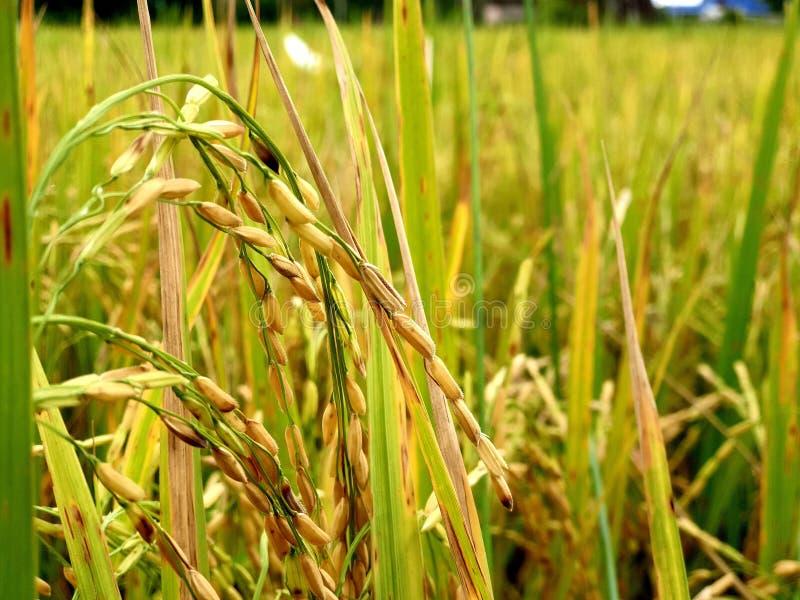 Usine de riz photos libres de droits