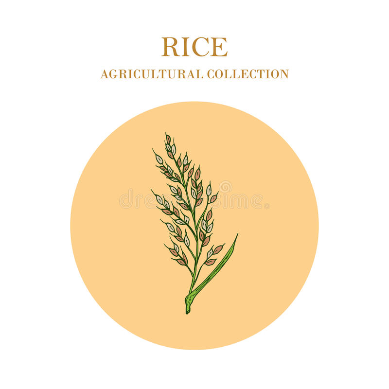 Usine de riz tirée par la main Collectes agricoles illustration libre de droits